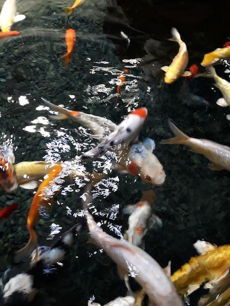 aquarium de paris carpes koi