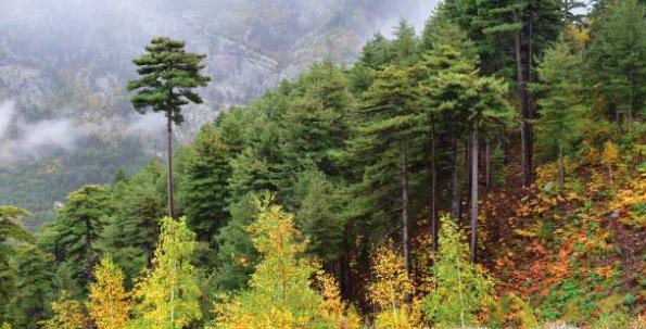 Forêt à pin laricio et bouleau dans la vallée de Tartagine © UMS PATRINAT / Julien Touroult
